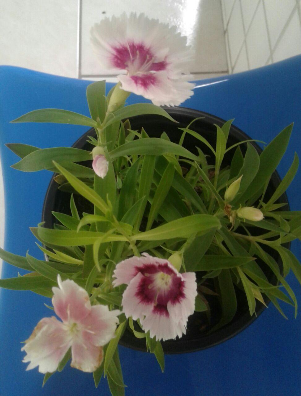 plantinha-de-valeska